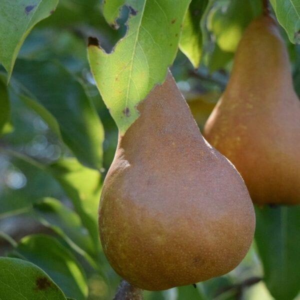 Organic Pear Tree