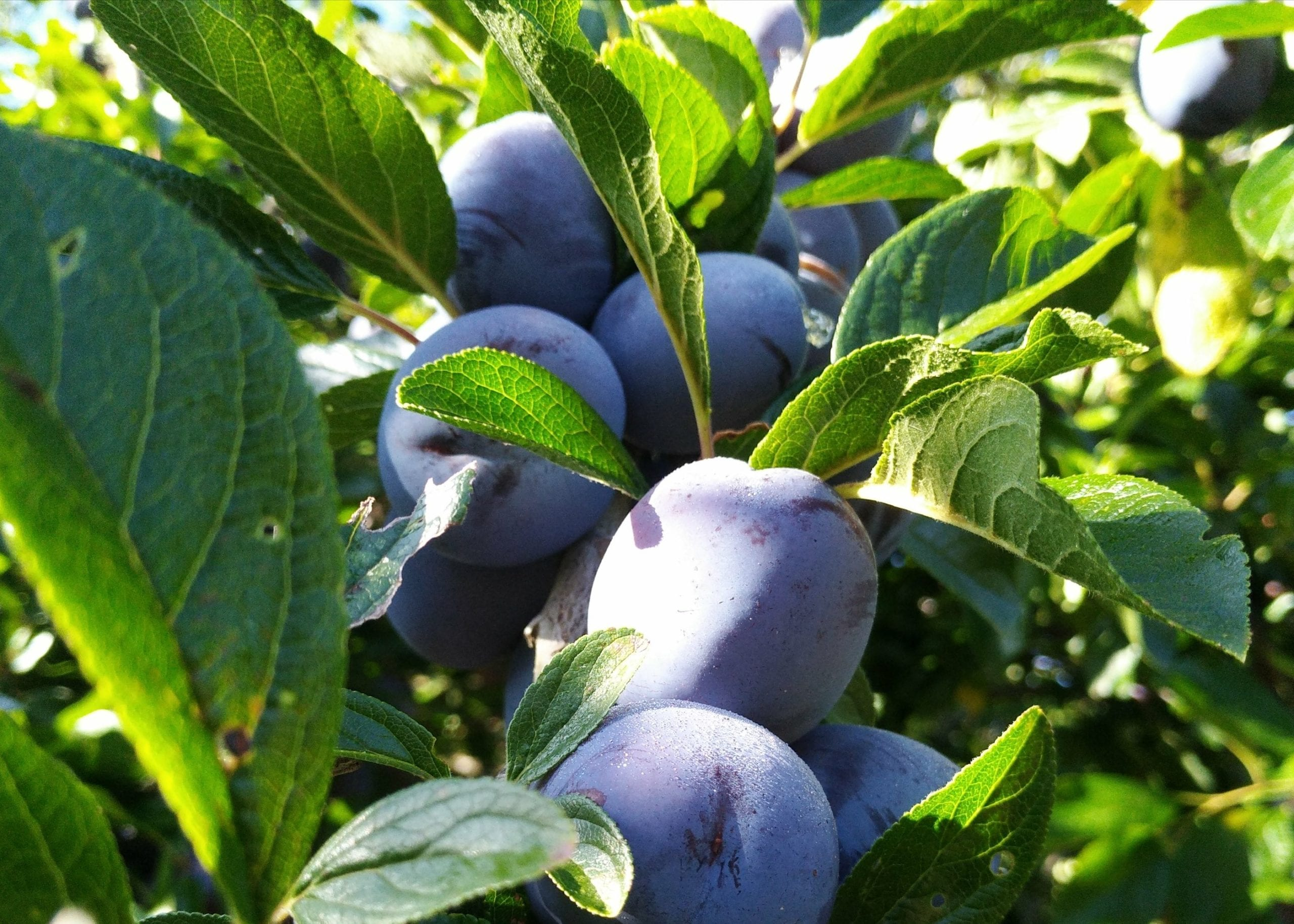 try some organic plums when you book your accommodation