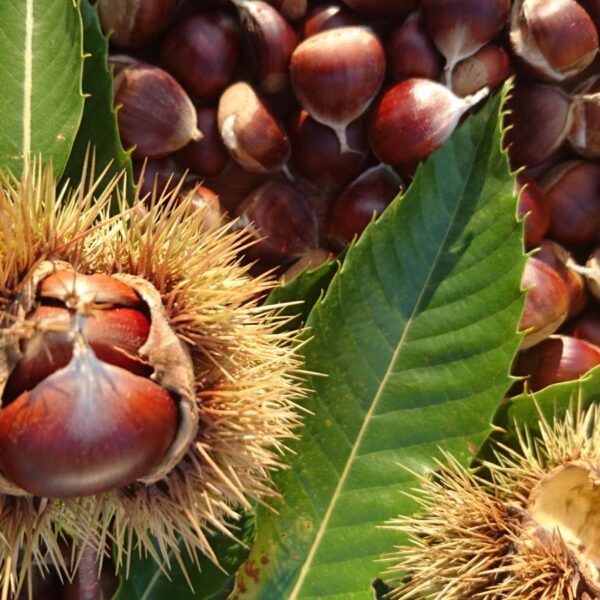 Organic Chestnut Farm