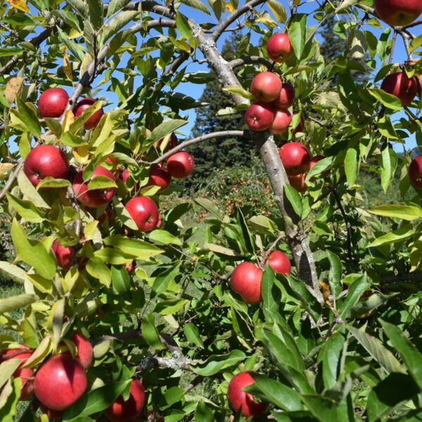 Stay In Our Farm Accommodation And Taste The Organic Apples