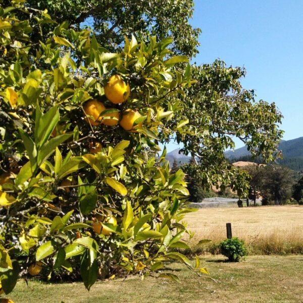 Organic Lemons Motueka Valley
