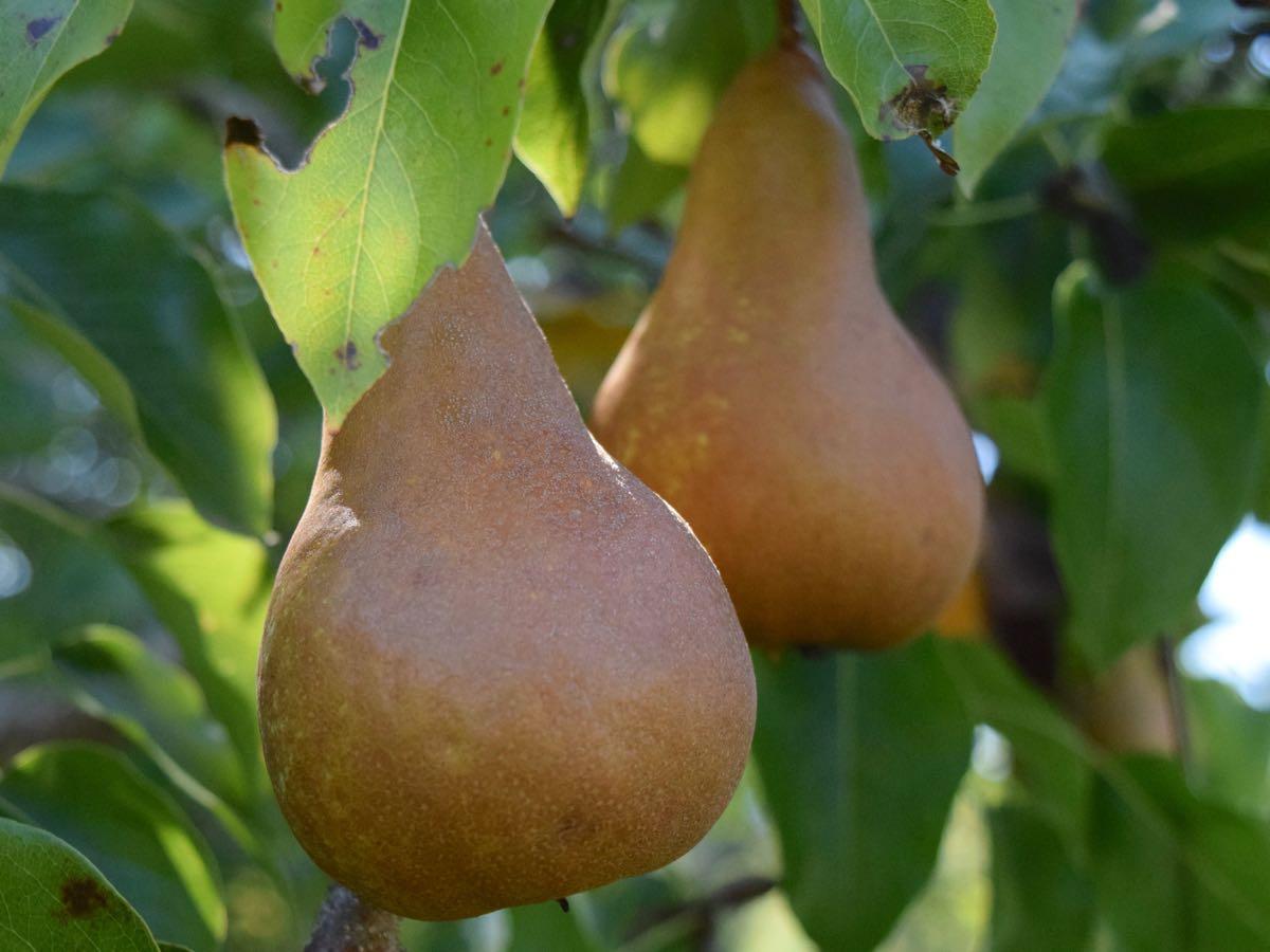 Organic Produce Cherry Homestead Pear