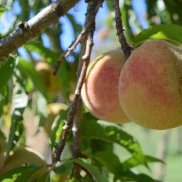 Organic Peaches Motueka Valley