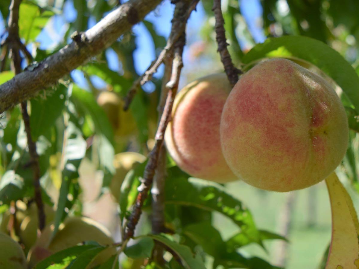 Organic Peaches Motueka Valley