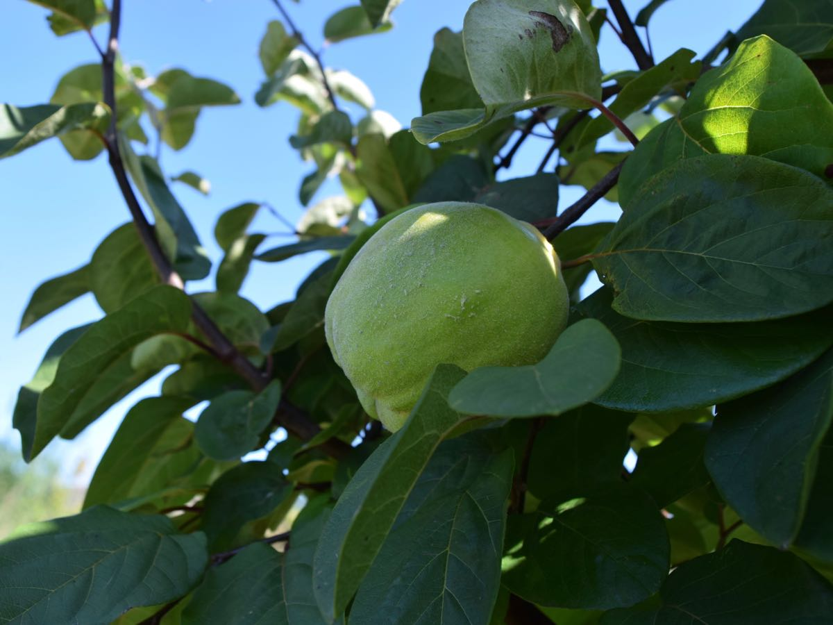 Quince Organic Produce