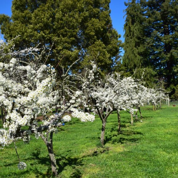 Blossom In The Organic Orchard
